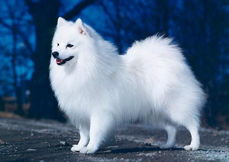 Spets hund