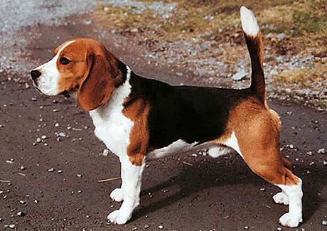beagle uppfödare östergötland