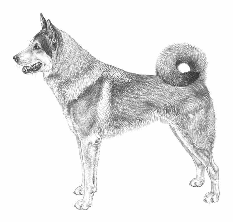 hitta älghund