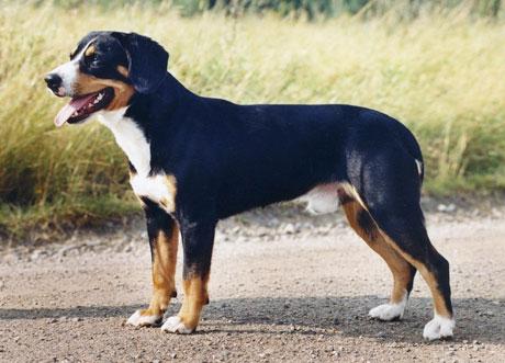 Entlebucher Sennenhund K 246 Pahund Se
