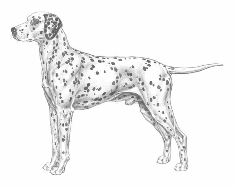 Bildresultat för dalmatinern