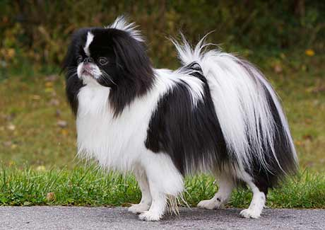 japanese chin valpar till salu k. Black Bedroom Furniture Sets. Home Design Ideas