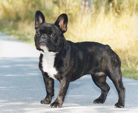 Fransk bulldog med längre nos