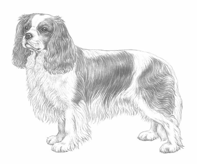 Cavalier King Charles Sketch Stock Illustrations – 126 Cavalier ... | 667x800