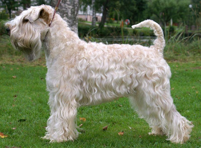 SE VCH SE UCH Beamix Wildstar, irish softcoated wheaten terrier ägare: Barbro Risberg