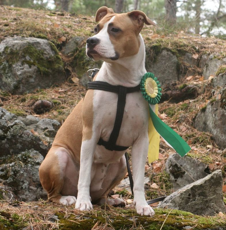 SE VCH Capa Tosta Crack Of Dawn, american staffordshire terrier ägare: Aloka Persson & Maria Olivemark