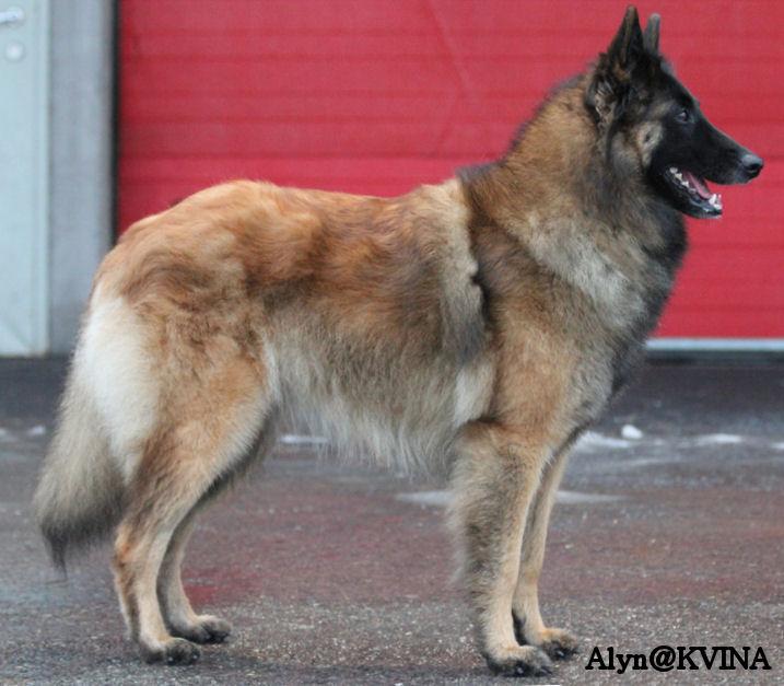NO UCH Hexen House Awynh, belgisk vallhund tervueren ägare: Monah Lithner & Åsah Holesäter