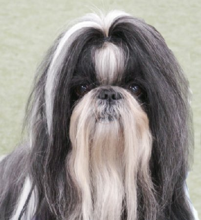 INT UCH NORD UCH Tibets Pride's I'll Do It My Way, shih tzu ägare: Grete Blomgren