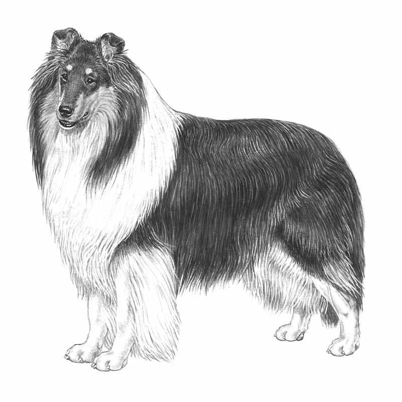 Collie, korthårig