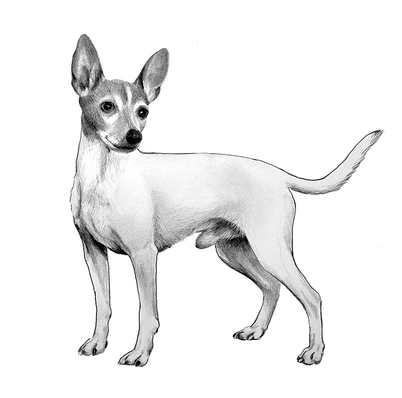 American toy fox terrier