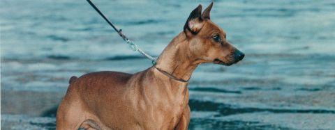 kuperade öron hundar