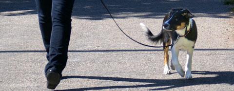 griffon petit brabancon hund