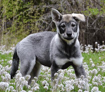 J 228 Mthund Nordic Kennel Union