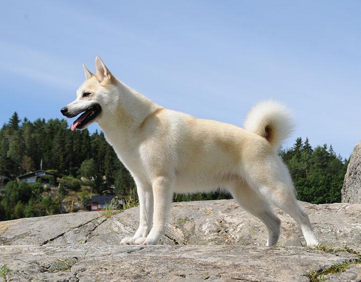 Norwegian Buhund Nordic Kennel Union