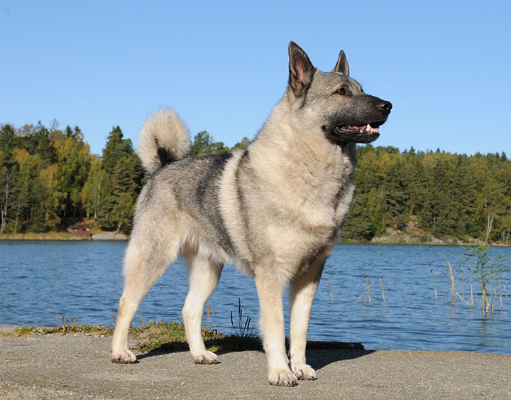norwegian elkhound grey nordic kennel union